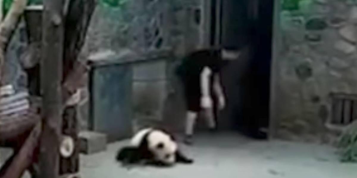 Maltrato a 2 pequeños pandas en zoológico de China enfurece a las redes sociales