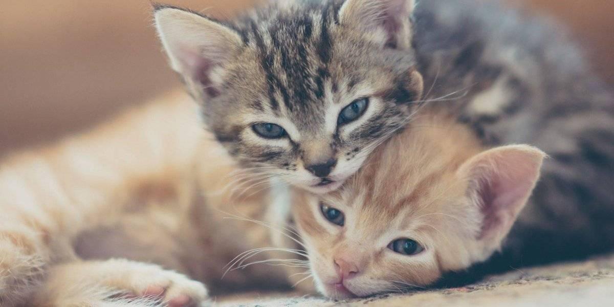 Adoptaba gatitos que buscaban una nueva familia pero sólo los torturaba, mataba y descuartizaba antes de esparcir sus restos por el vecindario