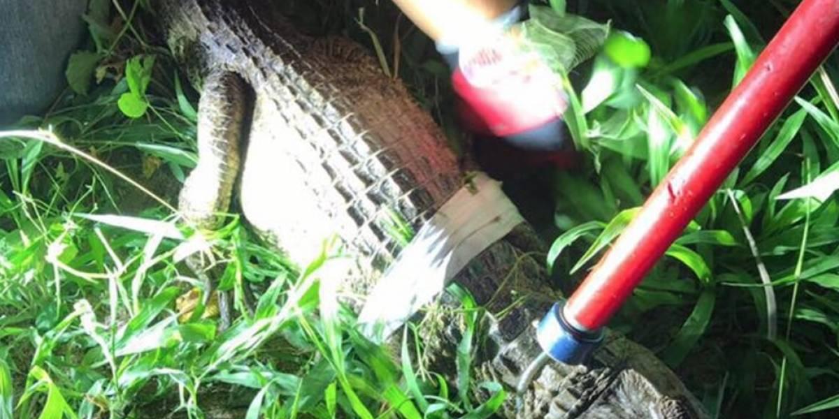 Capturan caimán en patio de residencia en Juncos