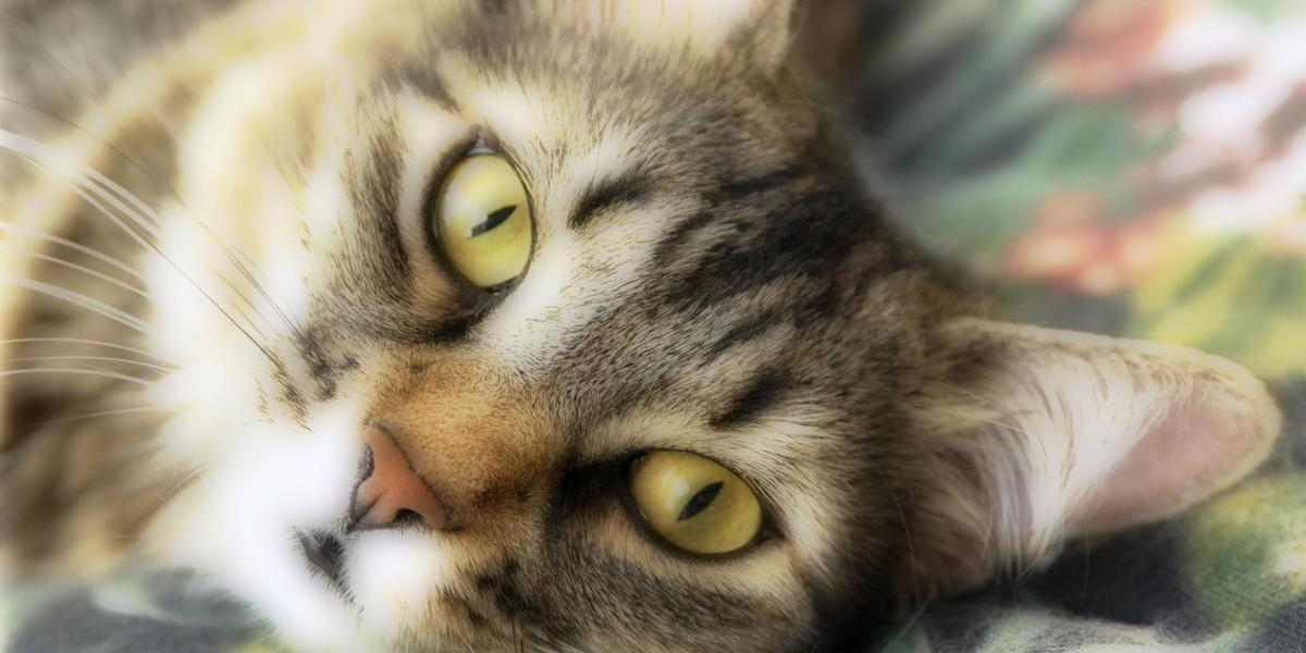 """Se viene agosto, el mes de los gatos: ¿cómo evitar que su mascota se contagie del """"Sida"""" felino?"""