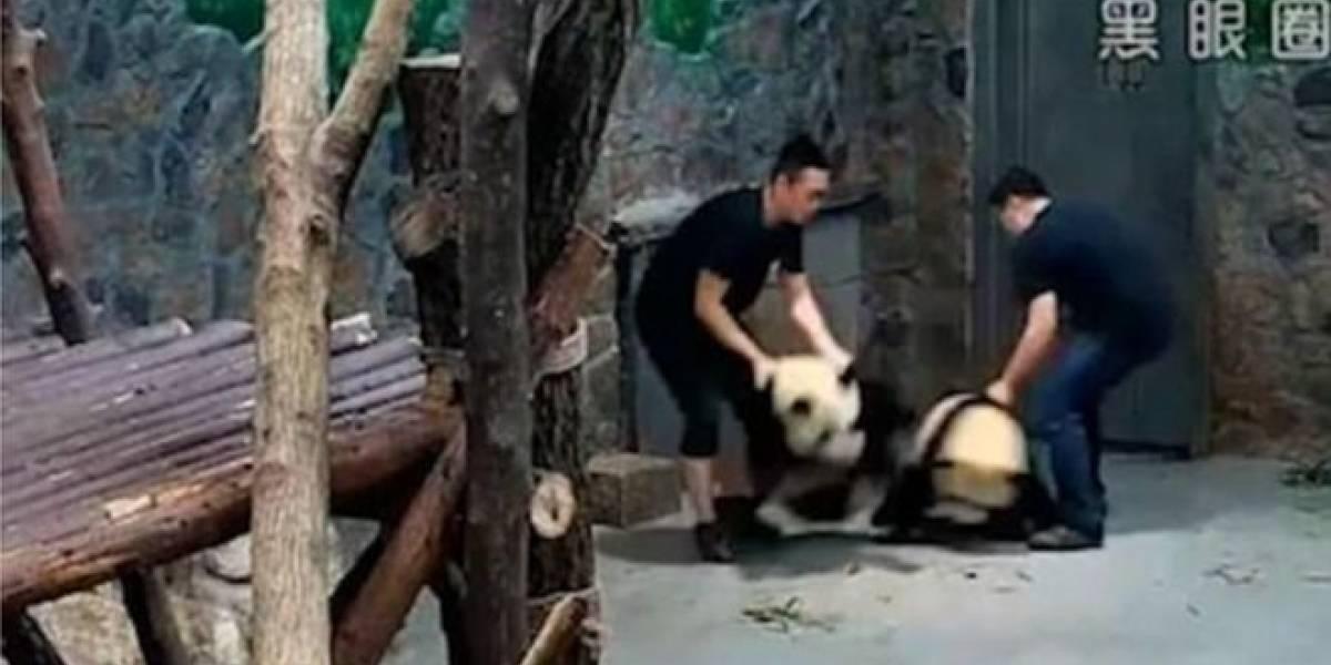 """Usuarios enfurecen por """"excusa"""" del cuidador que fue captado maltratando dos bebés pandas"""