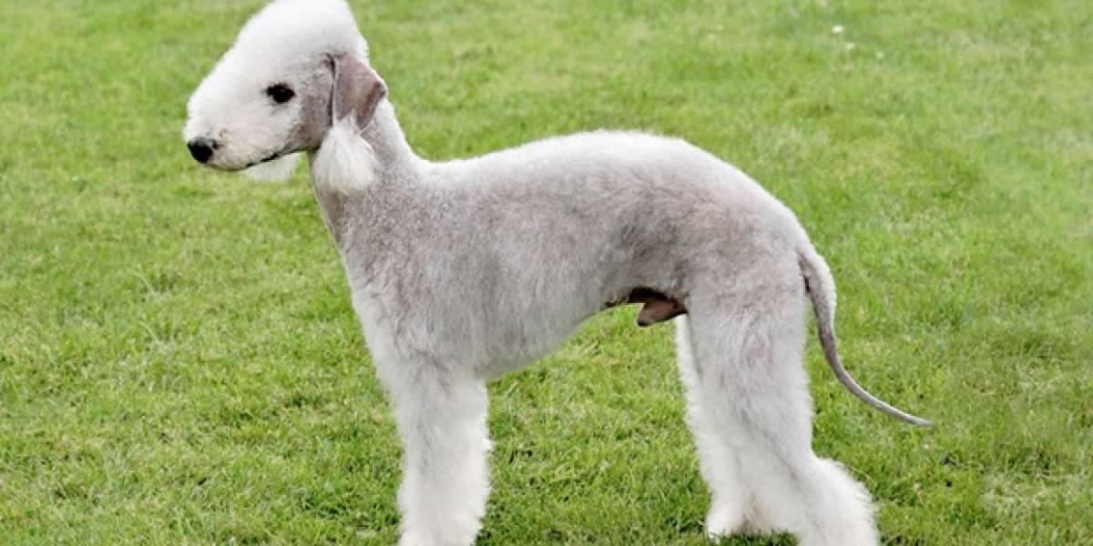 Diez razas de perros que seguramente no conoce