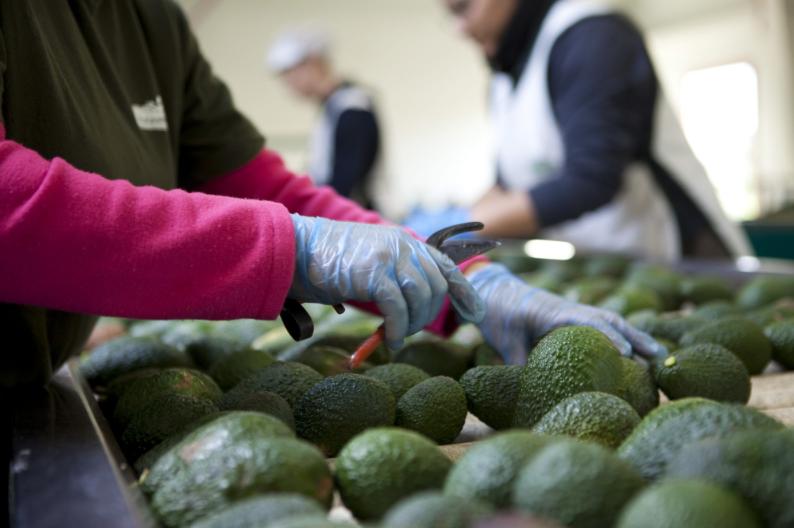 Aguacates colombianos ahora podrán venderse en Estados Unidos