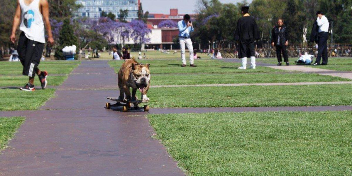 VIDEO: Logan, el perro patinador de la UNAM