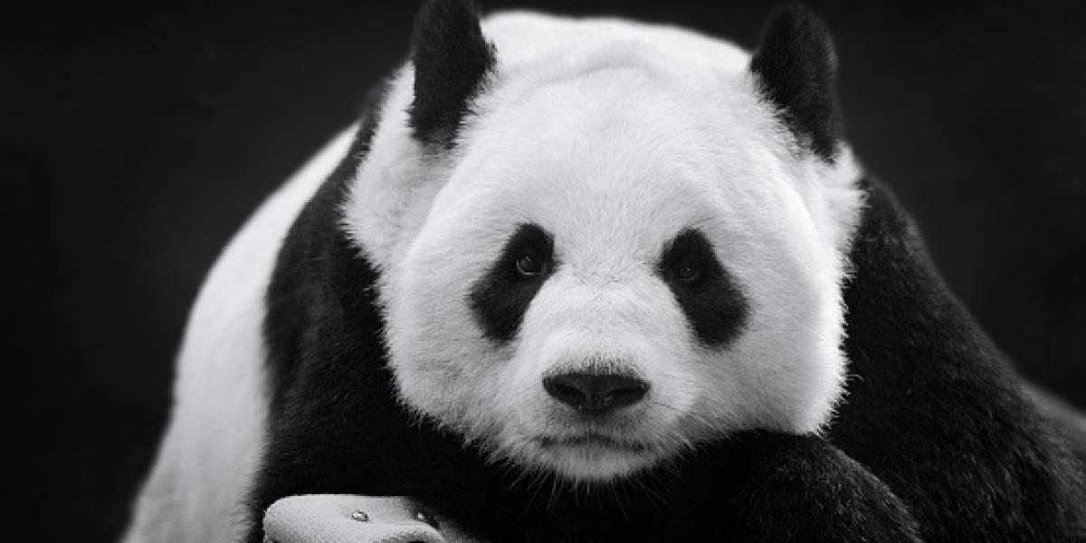 Una panda bate récord de madre más longeva
