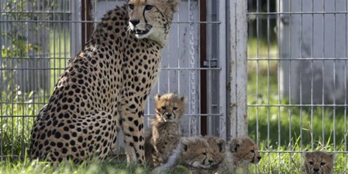 Cachorros de guepardo de Praga superan etapa de riesgo
