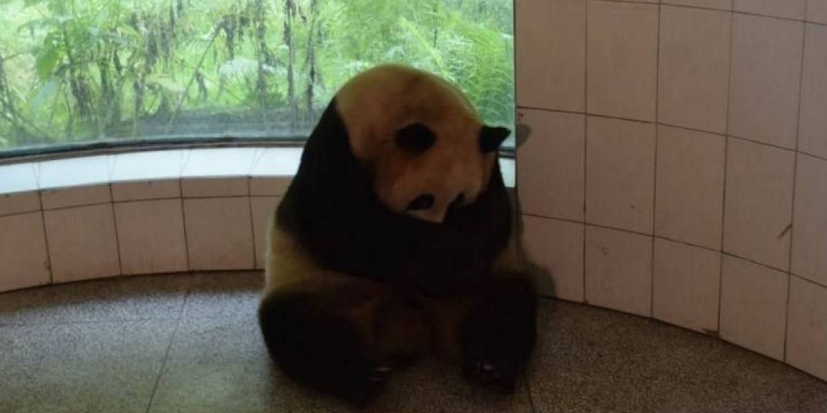 """Octogenaria"" osa panda da a luz gemelos y bate récord mundial"