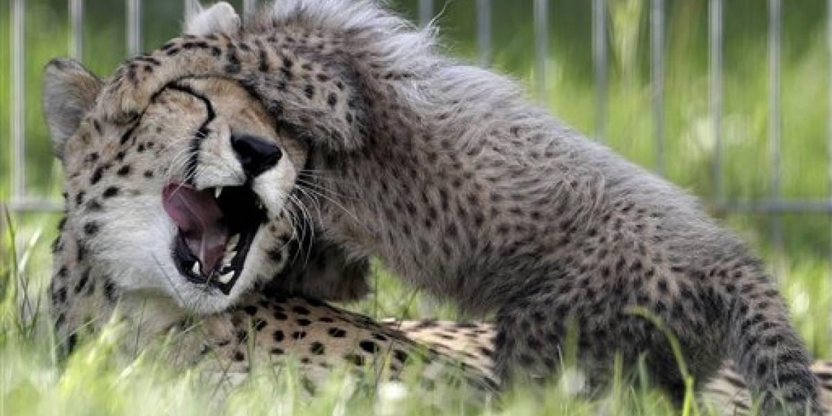 #AlertaTernura Cinco bebés guepardo retozan en el zoo de Praga