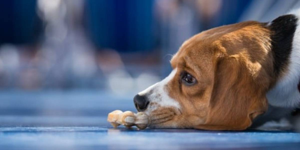 Desesperado, un perro saltó desde un piso 11 por ruido de pólvora