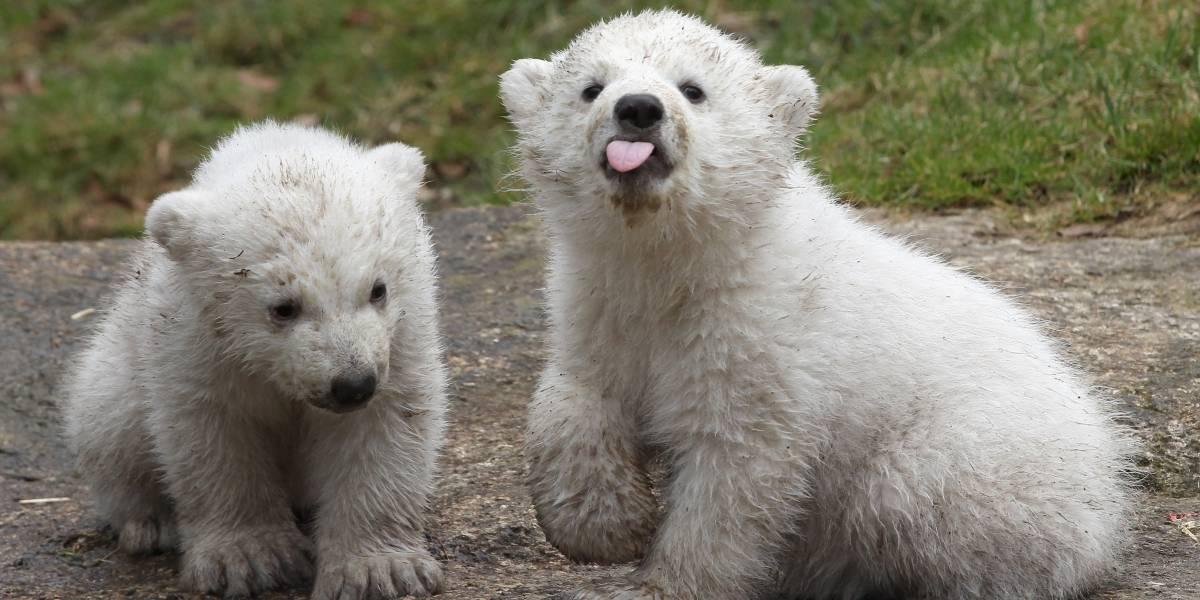 """""""Así de crueles somos"""": Las dolorosas imágenes de osos polares en un zoológico a 40 grados"""