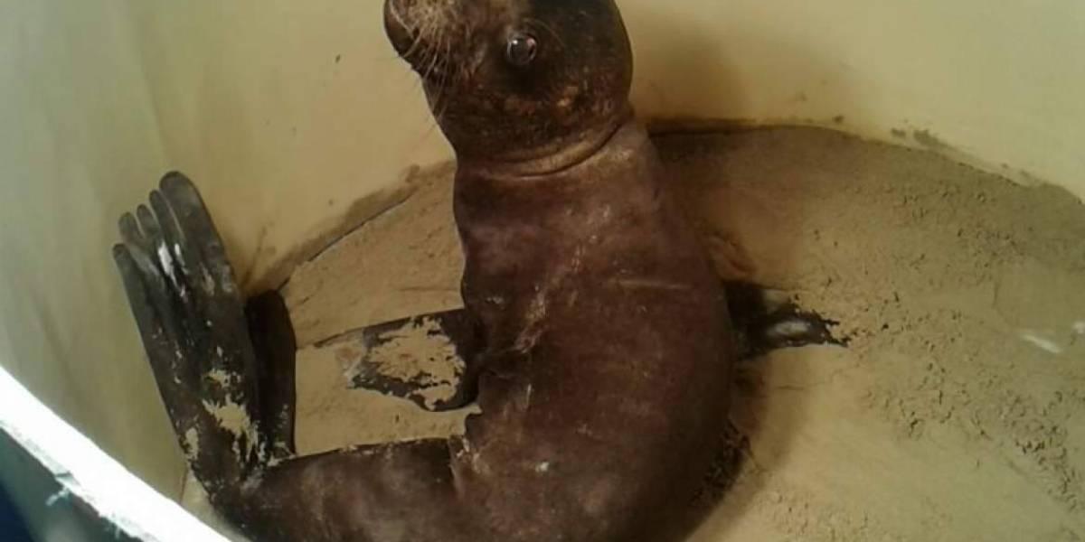 Lobo marino rescatado en Guayaquil murió