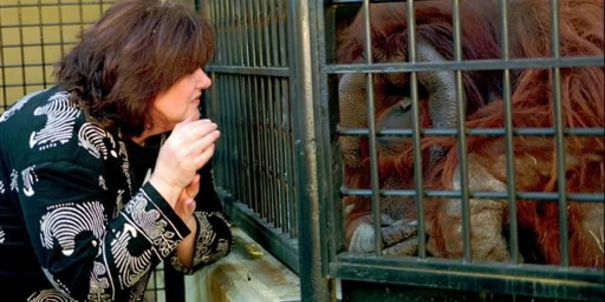 Muere orangután que aprendió lenguaje de señas