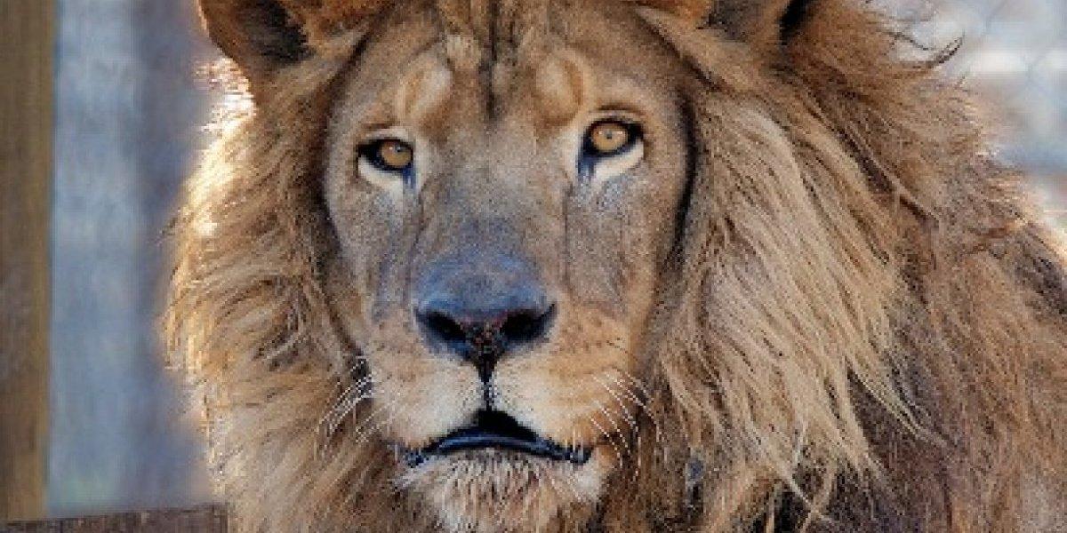 """Recuerdan al león """"Kazuma"""" y sus """"enseñanzas"""" tras ser rescatado de un circo de Guatemala en 2011"""