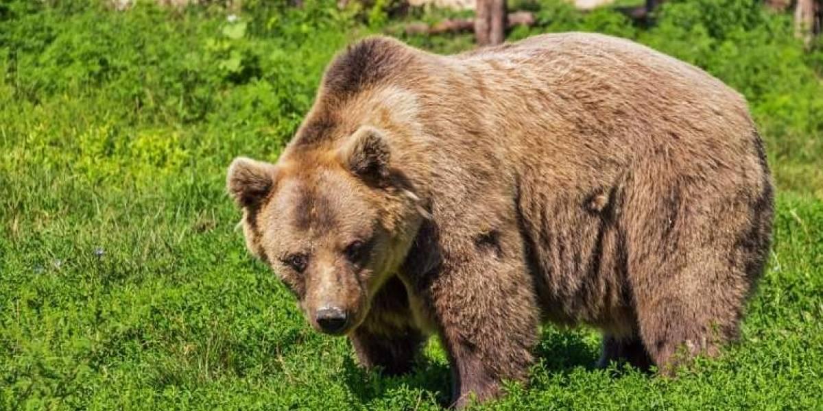 """Robó un auto, lo chocó y dejó una olorosa sorpresa: la loca carrera """"criminal"""" de un oso que todos comentan en redes"""