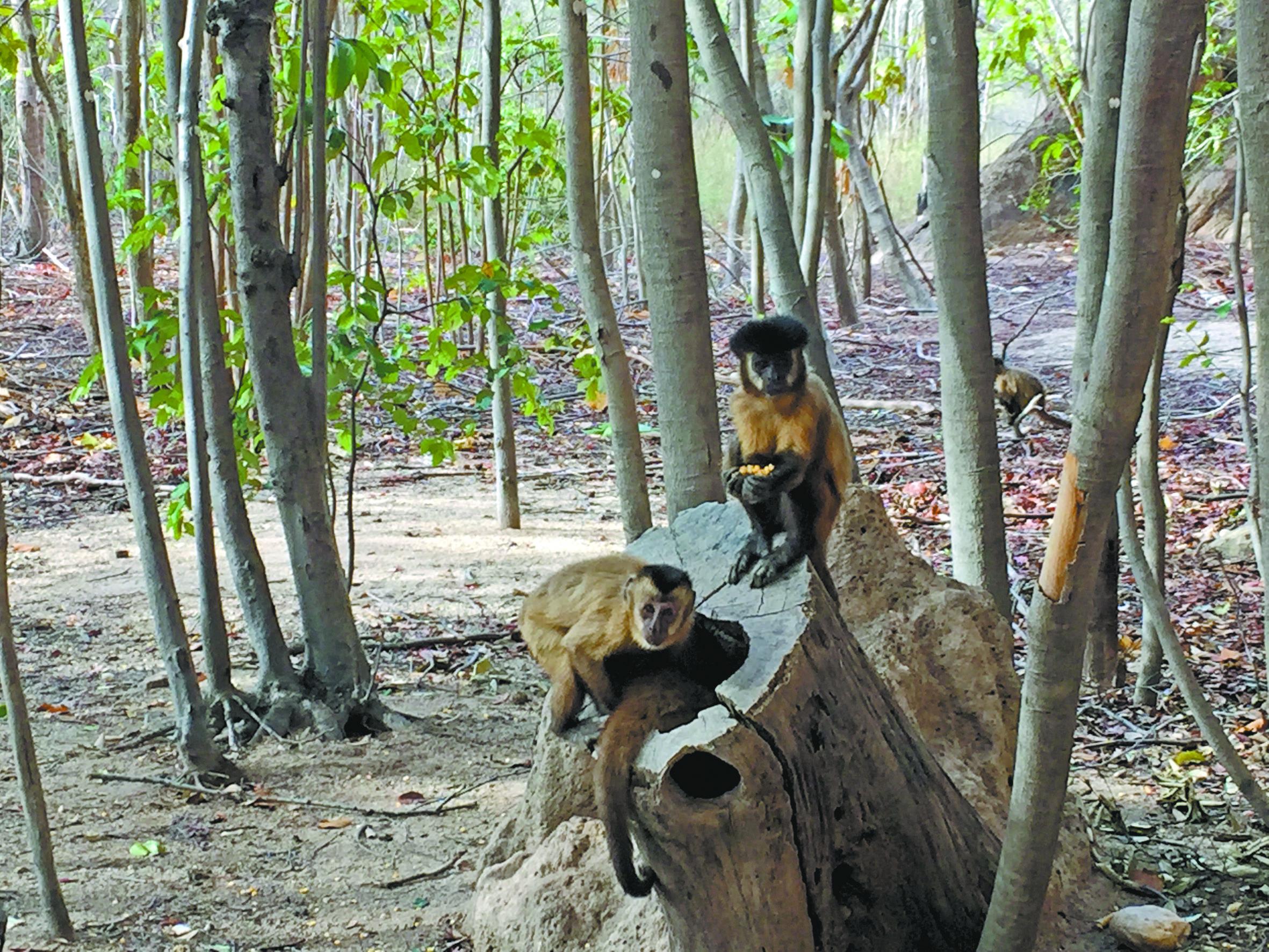 Pesquisadores da USP estudam macacos-pregos que vivem na região | Divulgação