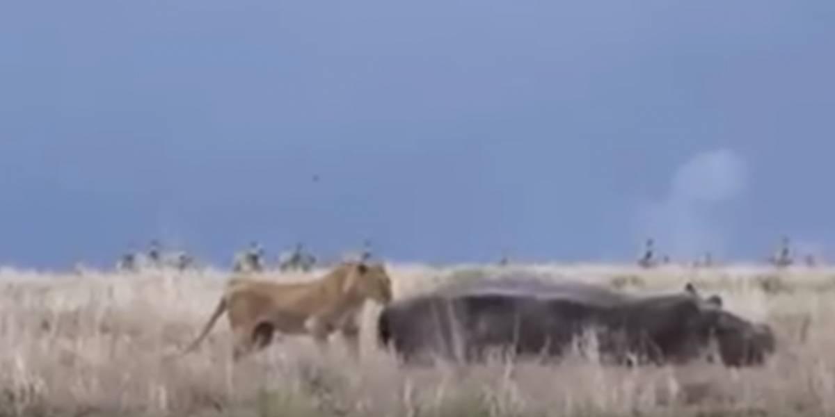 León despierta a hipopótamo y es atacado