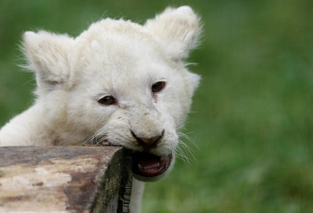 Espécie enfrenta risco de extinção | David W Cerny/ Reuters