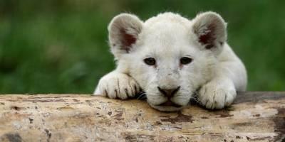 Zoo divulga fotos dos 5 filhotes de leões brancos que nasceram em maio