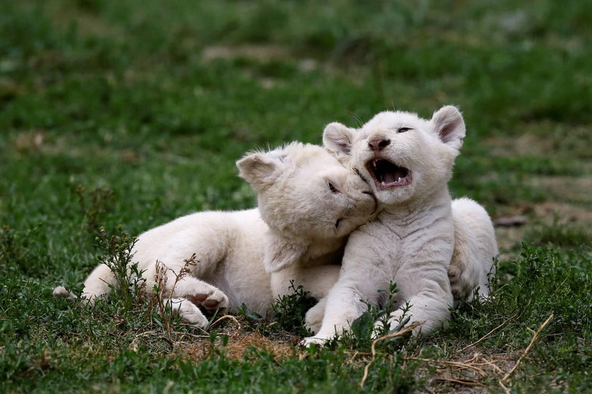 Felinos nasceram no dia 4 de maio | David W Cerny/ Reuters