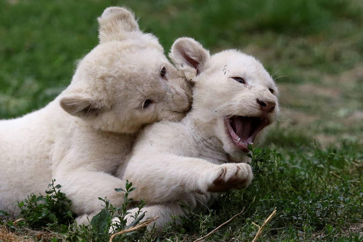 Filhotes brincam juntos em zoológico da República Tcheca | David W Cerny/ Reuters