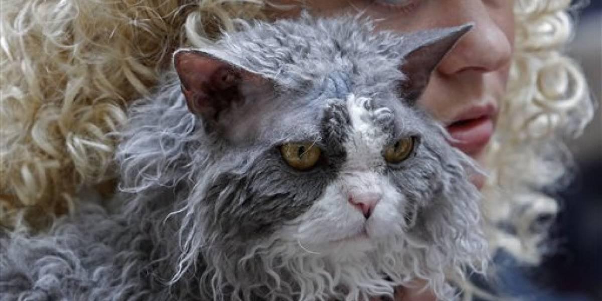 Gatos de pelos enrolados ganham a internet após foto de filhote ir parar no Twitter