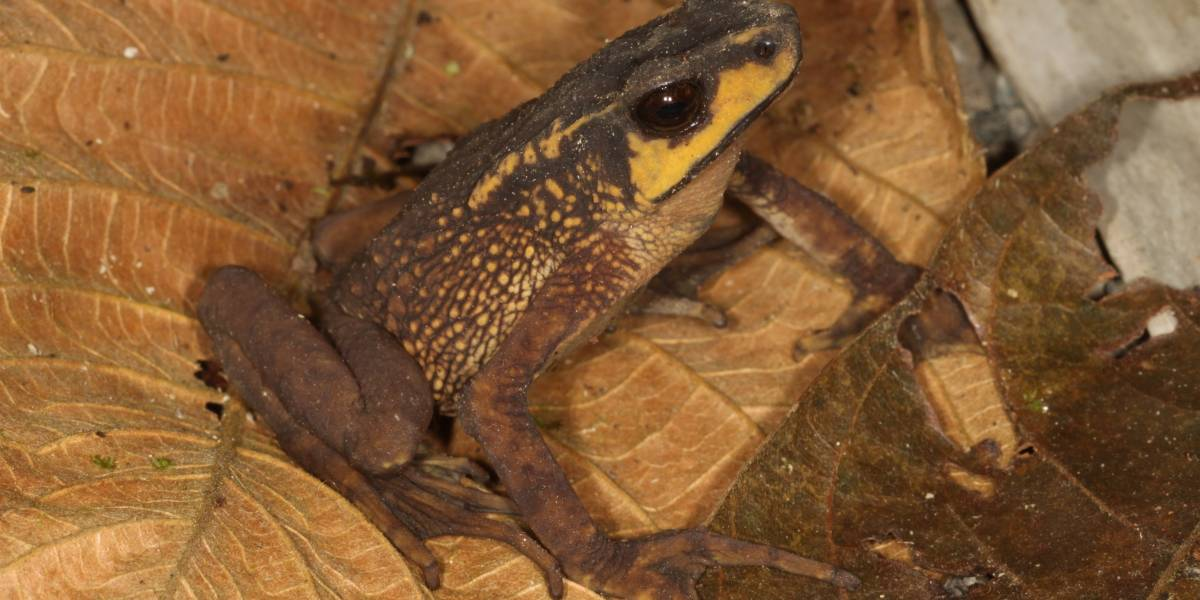 Científicos redescubren en Carchi especie de sapo que creían extinto