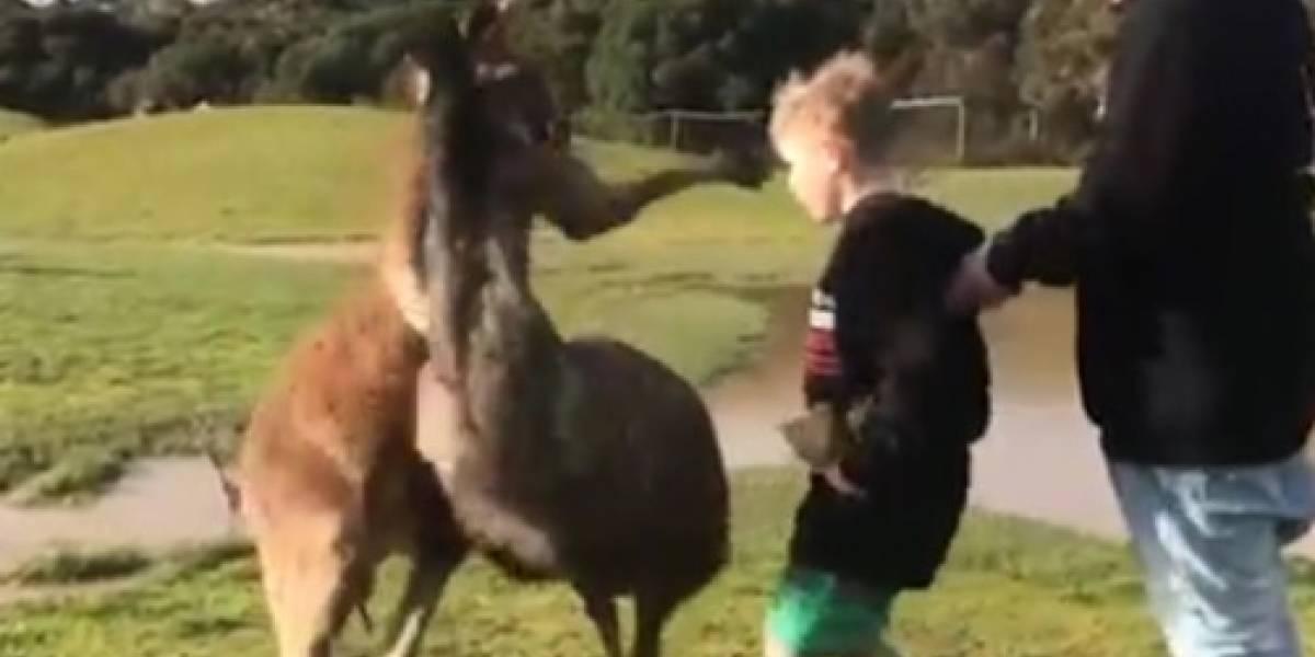 Canguro golpea a un niño