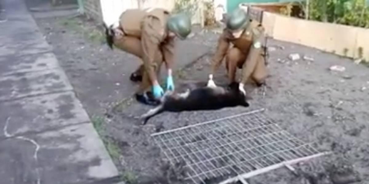 Carabineros intentó salvarlo: perrito murió tras ser lanzado desde tercer piso de edificio