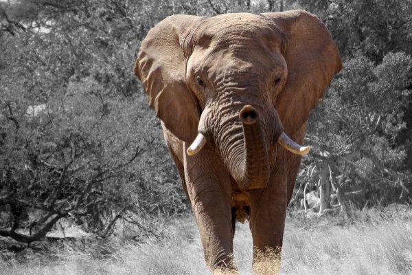 Un elefante pisotea hasta la muerte a un cazador en África