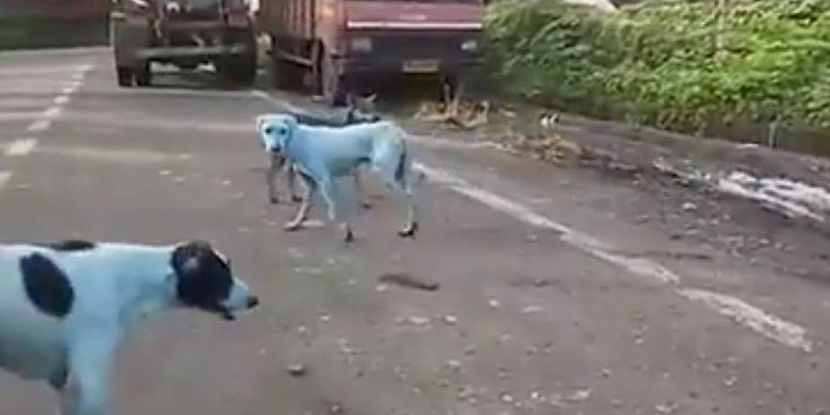 Perros azules, víctimas de la contaminación, reaparecen en calles de la India