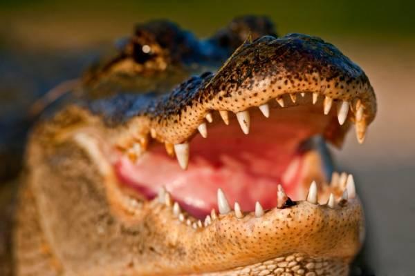 Increíble descubrimiento en el interior de un caimán en Brasil