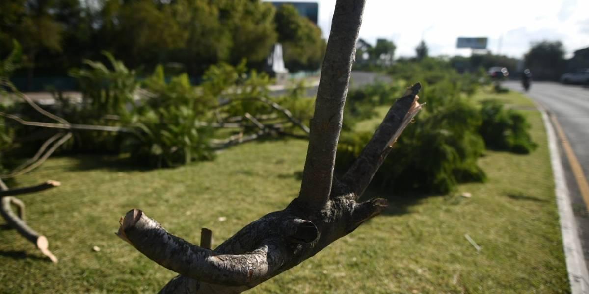 La historia de las 52 jacarandas que no florearán en las calles de la Ciudad