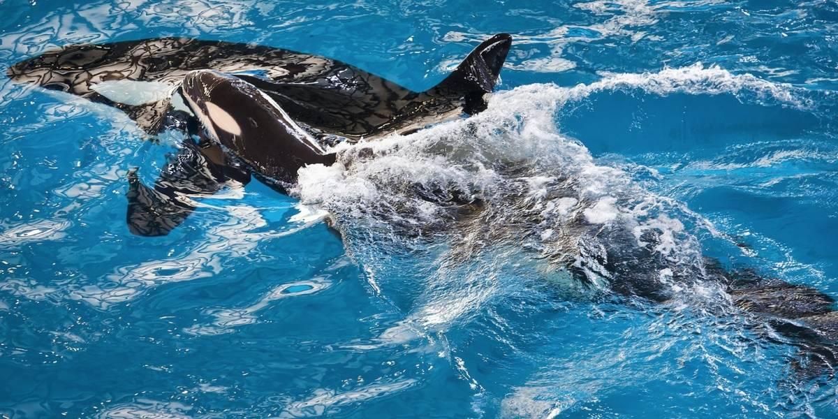 Veterinarios de SeaWorld sacrifican a orca