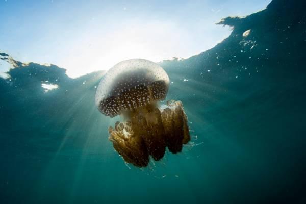 Por este motivo deberíamos comer medusas