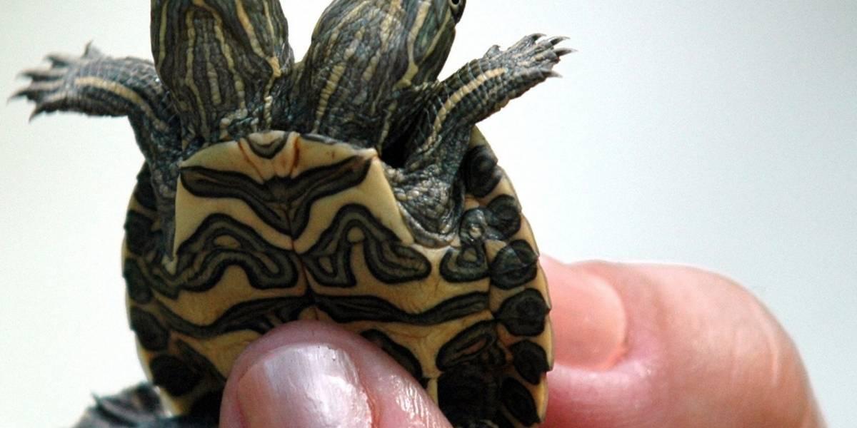 Biólogos hallan tortuga con dos cabezas en Florida