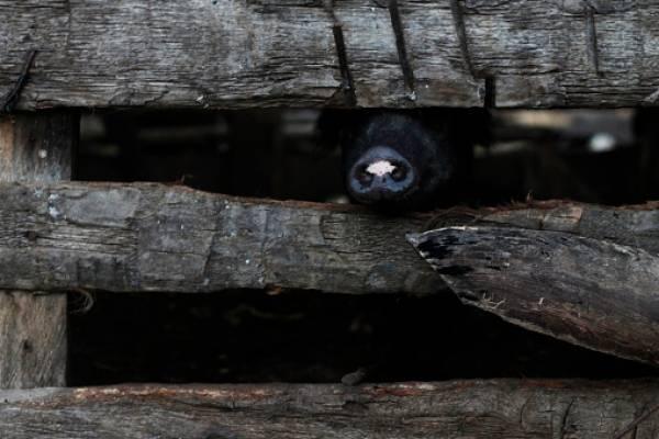 Nace en Cuba un cerdito con cara de mono