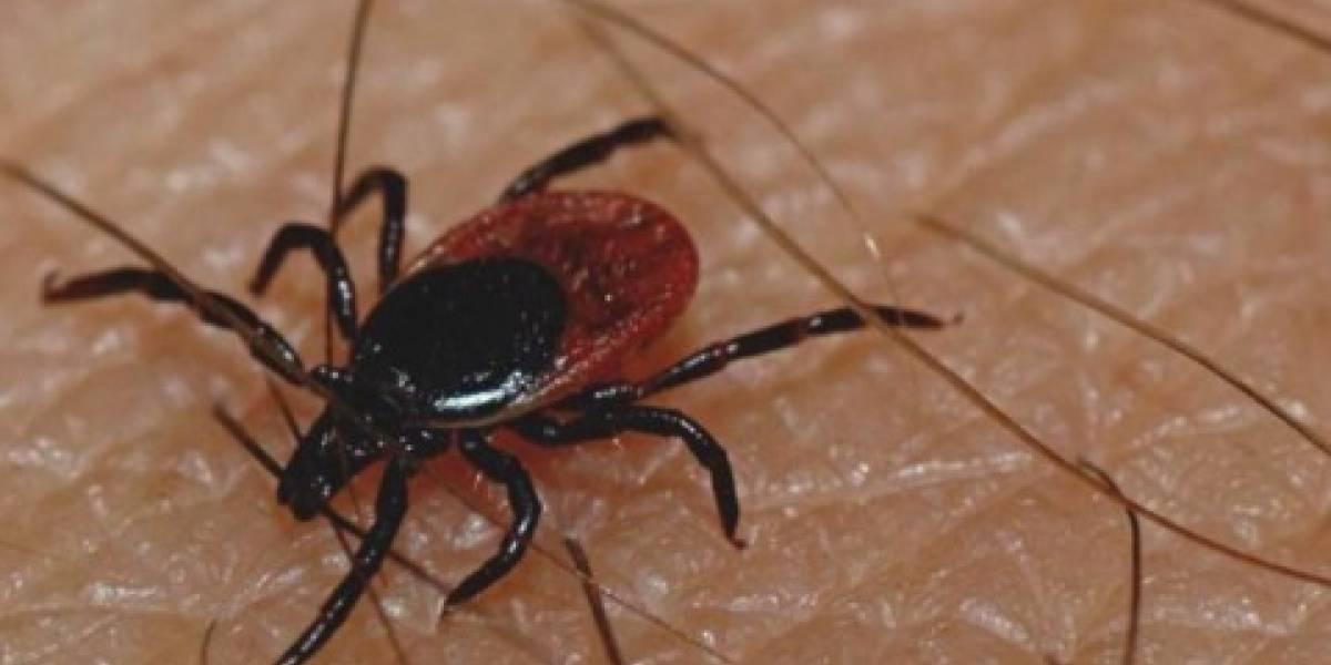 Rickettsia, la enfermedad que ya cobró 26 vidas en Sonora