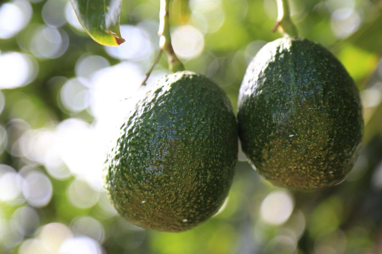 Romperán récord del guacamole más grande del mundo