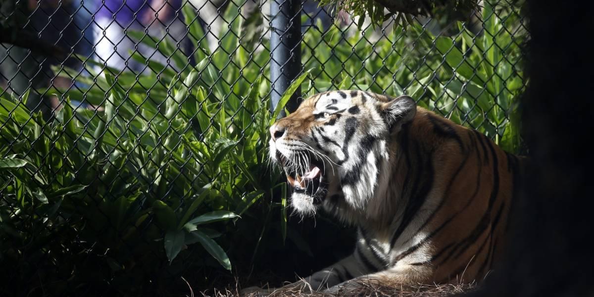 Universidad de Luisiana recibe un nuevo tigre de mascota