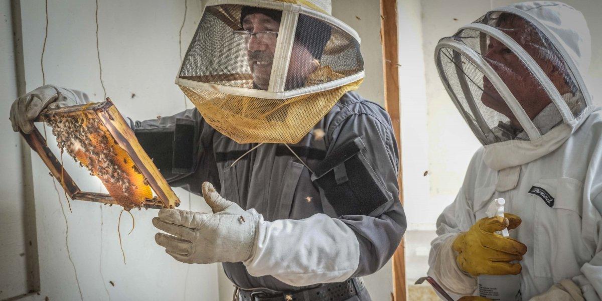 Anuncian iniciativa a favor de las abejas de miel de la isla