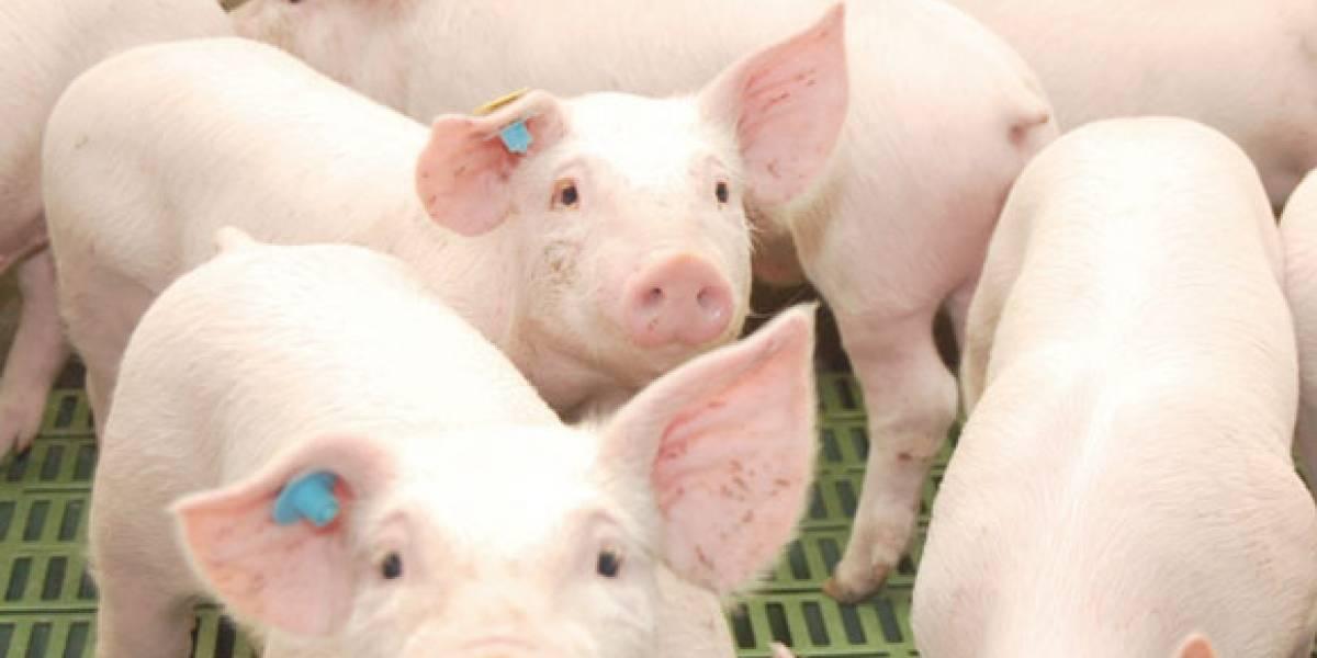 Cerdo chileno incrementa presencia en el monumental mercado chino