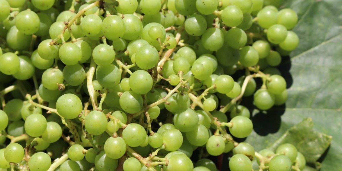 ¡Histórico! Rescatan ingrediente derivado de la uva que se usaba en el Chile Colonial