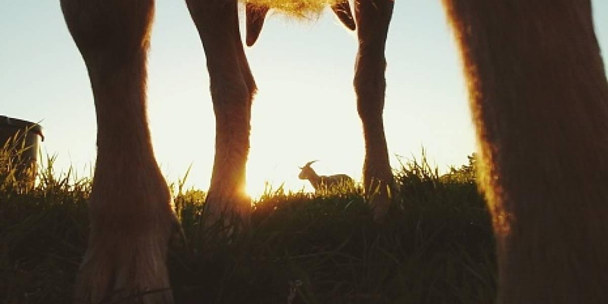 Video de cabra mutante se hace viral en redes sociales