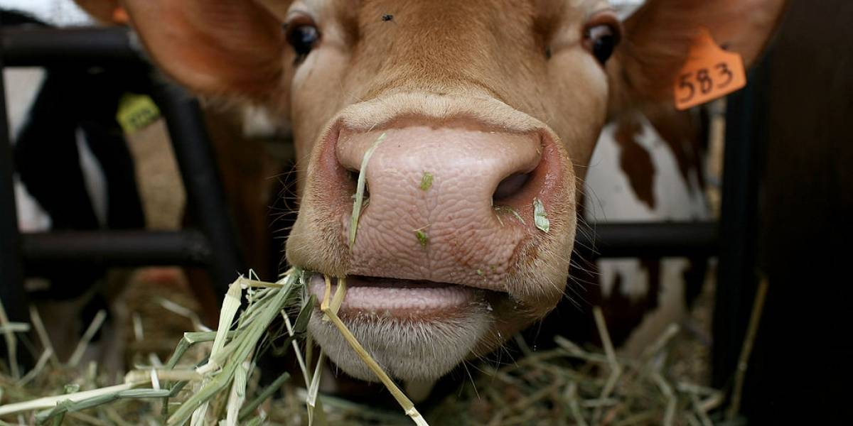 Turista quería conocer los Alpes suizos desde el aire pero una vaca se lo impidió