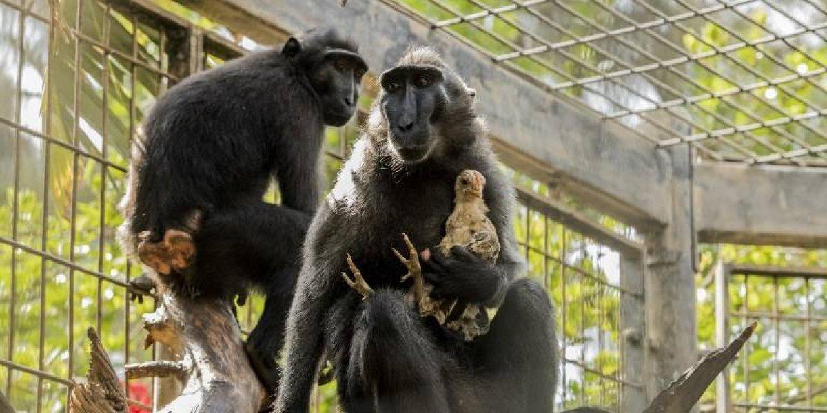 La historia de amor materno entre una macaca y un pollo en Israel