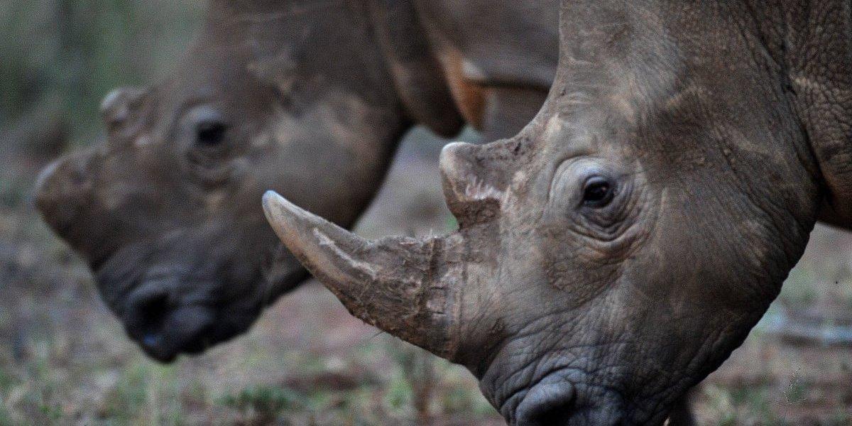 ¿Cómo pasó esto? En Sudáfrica se realizó la primera subasta legal de cuernos de rinocerontes