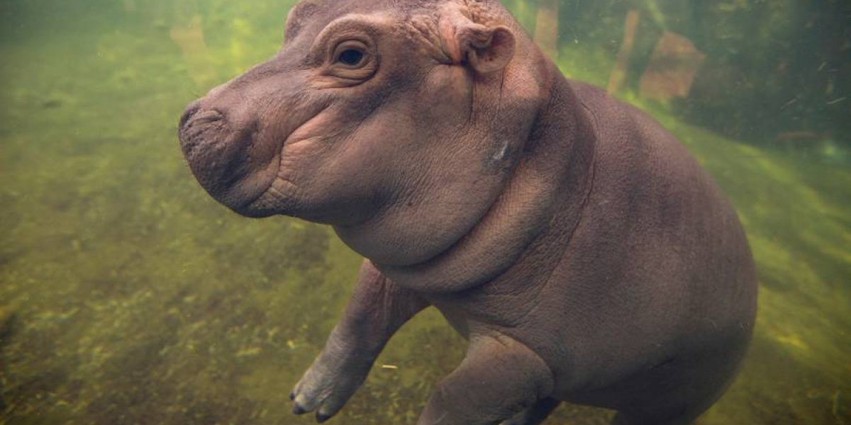 VIDEO. Hipopótamo bebé de Cincinnati tendrá su serie en Facebook
