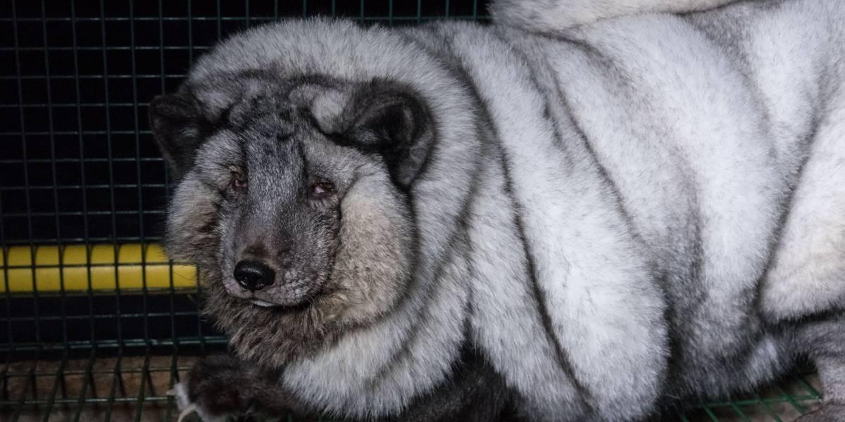 """La triste razón por la que están criando zorros árticos """"monstruosos"""""""