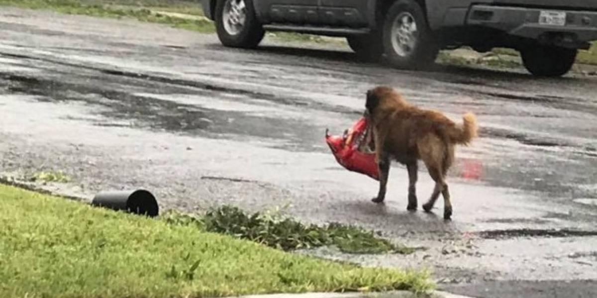 La historia de Otis, el perro que escapó del huracán Harvey con un saco de comida en su boca
