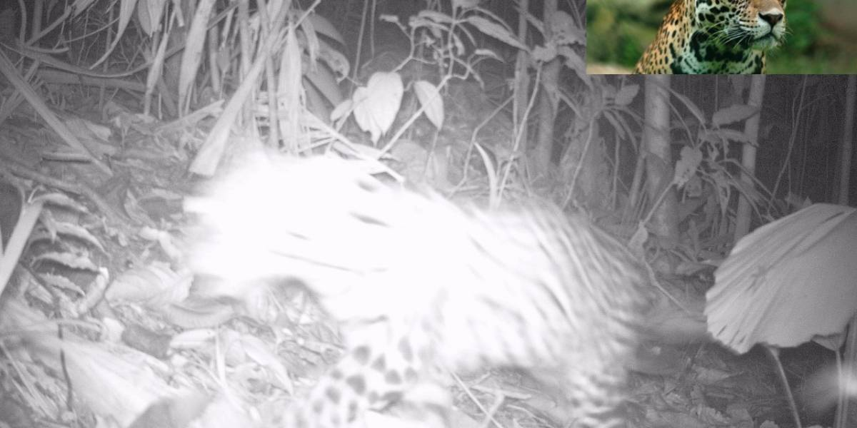 ¡Se dejó ver el jaguar! La Car capta el gran gato por primera vez con una de sus cámaras
